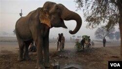Seekor gajah minum air dari air ledeng di Allahabad, India. Populasi gajah liar India diperkirakan mencapai sekitar 26 ribu.