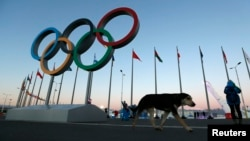 A stray dog walks past the Olympic Rings in Olympic Park, three days before the start of the 2014 Winter Olympics, Feb. 3, 2014, in Sochi, Russia.