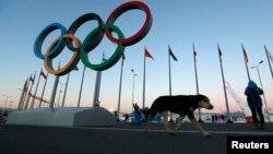 2月3日,一頭流浪狗在俄羅斯的索契舉辦2014年冬奧會的場地上走動。