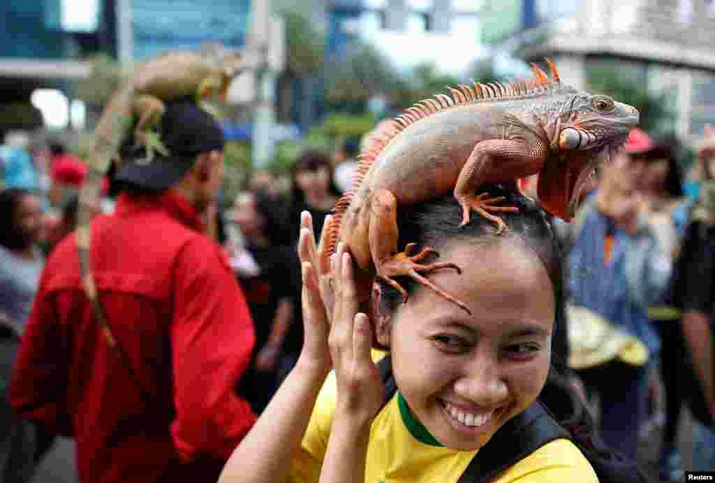 Seorang perempuan memegang iguana di kepalanya dalam pertemuan 'klub penggemar reptil' pada acara car-free day di Jakarta.
