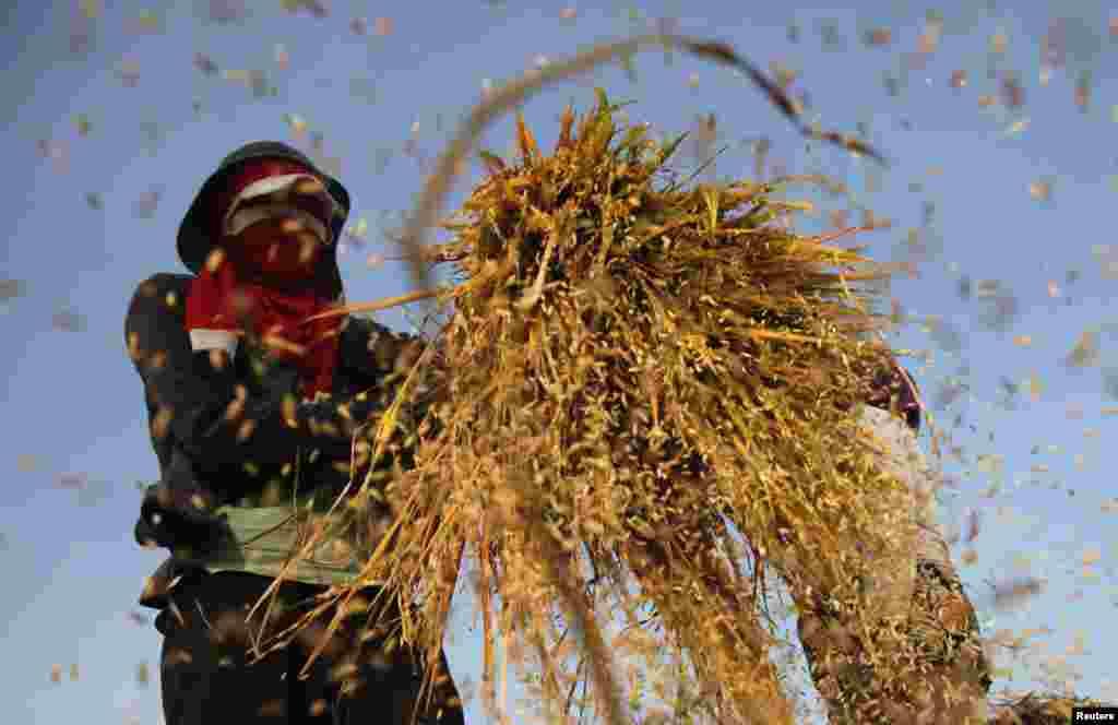 Công nhân đập lúa ở làng Sukakarya, Bekasi, tỉnh Tây Java của Indonesia.