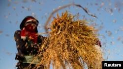 Pengamat ekonomi mengatakan sektor pertanian merupakan sektor yang dapat membantu pemerintah menurunkan angka kemiskinan. (Foto: Dok)