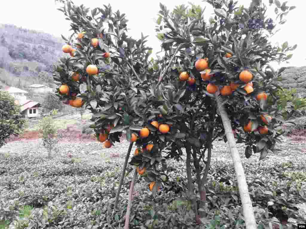 درخت پرتقال در املش بخش رانکو، روستای هلوسرا عکس: ناصر (ارسالی شما)