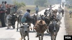 2015年9月19日,印度西孟加拉邦村庄的商贩把牛赶到市场市场销售。(美国之音拉赫曼拍摄)