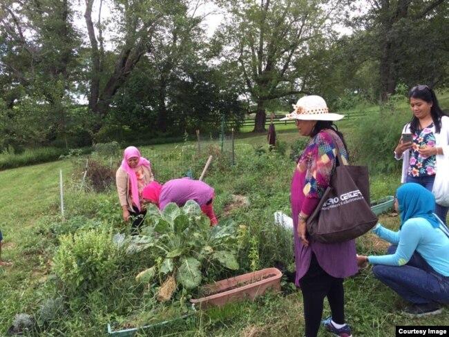 Dispora Indonesia ikut panen sayur di kebun Supadmi.