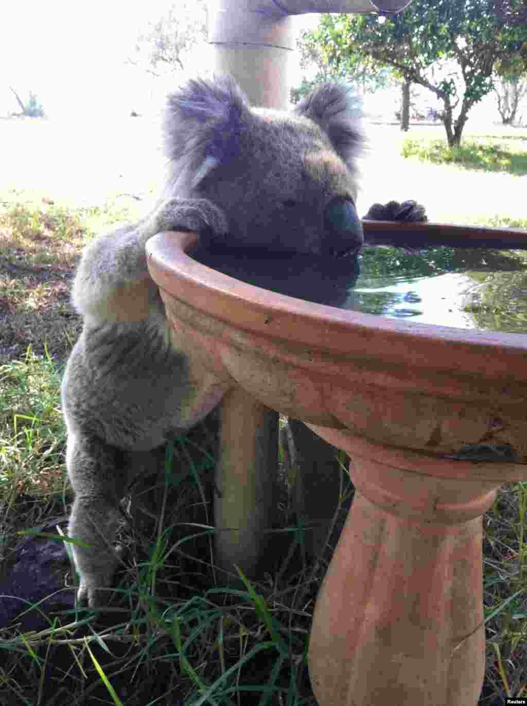 آب خوردن یک خرس کوآلا از یک حوض پرنده در استرالیا.