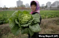 A farmer carries a fully grown cabbage after plucking it out from the main crop which will be harvested early next month, and used to make Kimchi.