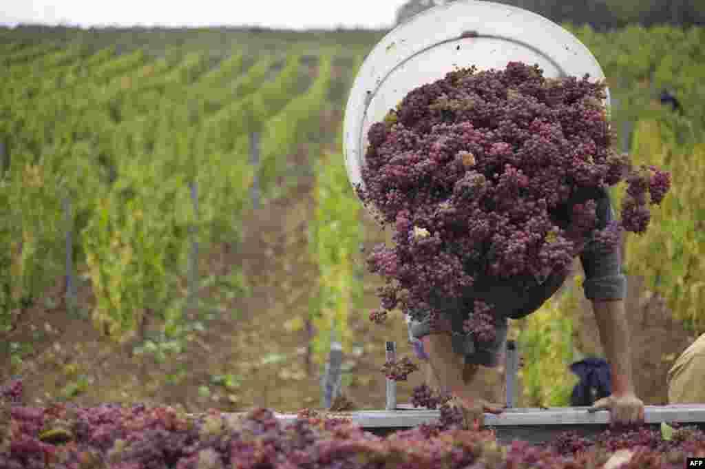 9일 프랑스 에뚜알의 한 포도원에서 농부가 열매를 따고 있다.