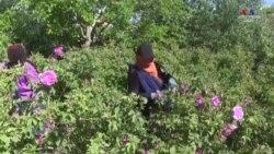 Մարոկկոյում Rosa Damascena տեսակի վարդերի ֆերմայի աշխատակիցները