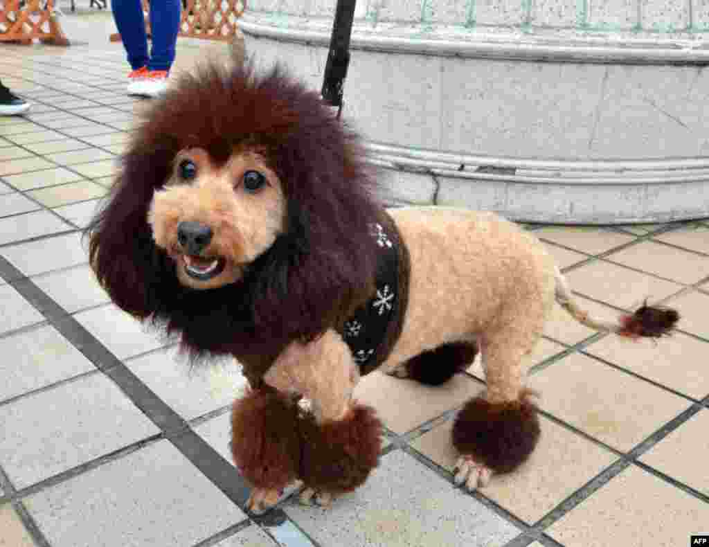 A dog, trimmed to look like a lion, walks on the rooftop of Mitsukoshi department store in Tokyo, Japan. One hundred lion looking dogs gathered to celebrate the 100th anniversary of Mitsukoshi department store's mascot lion.