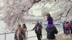 华盛顿樱花节视频