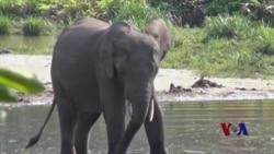 中非森林象受盗猎者和叛军威胁