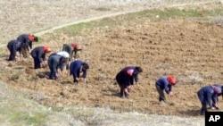 북한 묘향산 주변 논에서 여성들이 일하고 있다.
