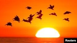 سورج غروب ہونے کے وقت کیلی فورنیا کے ساحل پر اڑنے والے پرندے۔