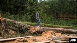 Un homme se tient au-dessus des arbres coupés dans une forêt, à Butembo le 12 novembre 2016.