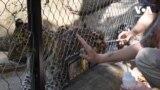 Вакцинація від КОВІД-19: в американських зоопарках починають щеплювати тваринок від коронавірусу. Відео