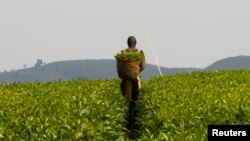 FILE - A worker is seen at a tea plantation near Kasese town, some 500 km west of Uganda's capital, Kampala.