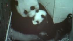 Smithsonian Zoo's Baby Panda Gets a Name
