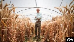 Ali Shehadeh, a scientist at ICARDA, in shown in one of the greenhouses at the International Center for Agricultural Research in the Dry Areas, or ICARDA, site in Lebanon's Bekaa Valley. (J.Owens/VOA)