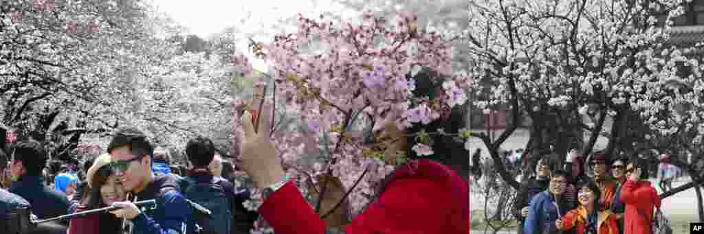 In this combination of photos, from left to right: A couple takes a selfie under the blooming cherry trees at Ueno park in Tokyo, April 2, 2017; a woman takes a selfie with cherry blossoms in Beijing, March 25, 2017; visitors take a selfie with cherry blossoms in Seoul; April 8, 2017.