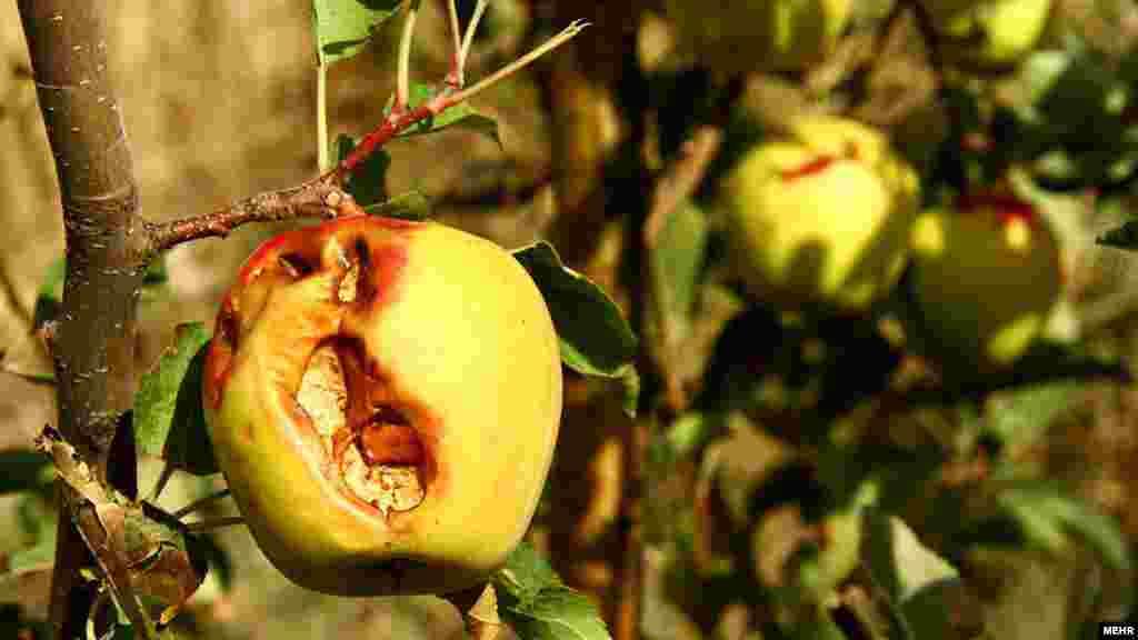 کاهش ناگهانی و پیش از موعد دمای هوا و همچنین افزایش بارندگی ها به صورت تگرگ و برف ، کشاورزان و باغدران سیب را غافلگیر کرده و خسارات سنگینی به باغهای سیب شهرستان میانه وارد آورده است. عکس: سالار پویان – مهر