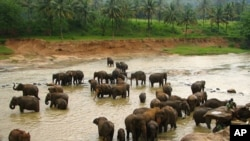 سری لنکا: جنگلی ہاتھیوں کی تعداد میں اضافہ
