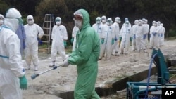 In this April 13, 2014 photo provided by Kumamoto Prefecture, local government workers in white protective overalls line up to be sprayed disinfectant in Taragicho, Kumamoto Prefecture, western Japan. The 112,000 chickens were ordered culled on Monday, April 14 after two chickens tested positive for a highly pathogenic avian influenza at a farm in the town. (AP Photo/Kumamoto Prefecture)