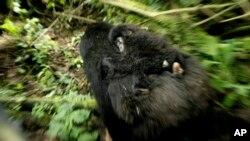 Un gorille et son bébé dans le parc congolais, le 25 novembre 2008.