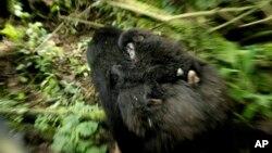 刚果的山地大猩猩