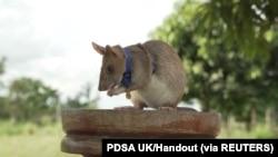 Magawa, seekor tikus penghirup bau ranjau, digambarkan di Siem Reap, Kamboja, dalam gambar selebaran tak bertanggal ini yang diberikan kepada Reuters pada 25 September 2020. (Foto: PDSA UK/Handout via REUTERS)