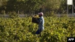 Un ouvrier viticole dans un domaine sud-africain, le 2 mars 2017.