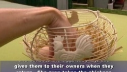 In England, a Hotel for Chickens