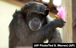 """Foxie, a chimp who lives at Chimpanzee Sanctuary Northwest in Washington state, holds a """"troll"""" doll on Aug. 8, 2016. (AP Photo/Ted S. Warren)"""