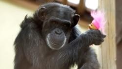 Quiz - Chimps Finding a Happy Ending