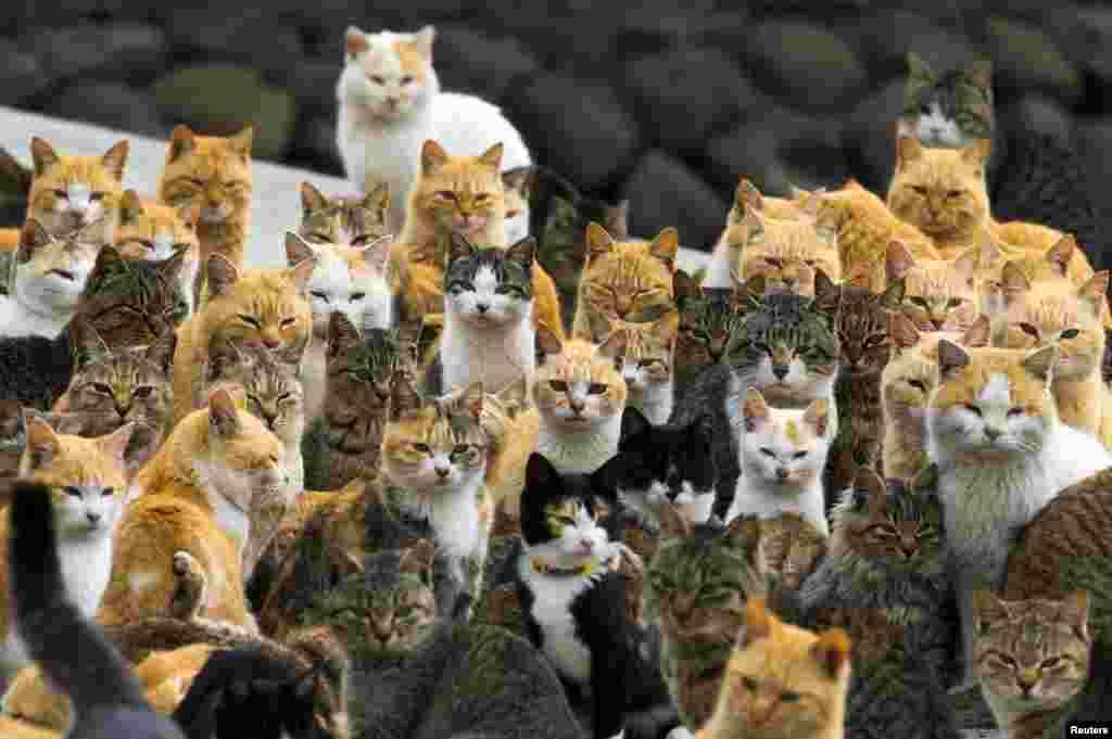 Mèo tập trung ở bến cảng trên đảo Aoshima ở tỉnh Ehime, miền nam Nhật Bản. Một đạo quân mèo hiện cai quản hòn đảo xa xôi này, cuộn mình trong những ngôi nhà bỏ hoang hoặc đi quanh quẩn trong một làng chài mà số mèo nhiều gấp sáu lần số người.