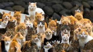 Cats crowd the harbor on Aoshima Island in the Ehime prefecture in southern Japan. An army of cats rules the remote island, outnumbering humans six to one.