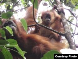 Orangutan Tapanuli (Pongo Tapanuliensis). (Foto: Courtesy YEL-SOCP)