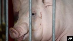 美國愛奧華州豬。