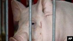 Un cochon importé de la Chine lors d'une exposition mondiale des porcs à Des Moines, Iowa, 2 juin 2009.
