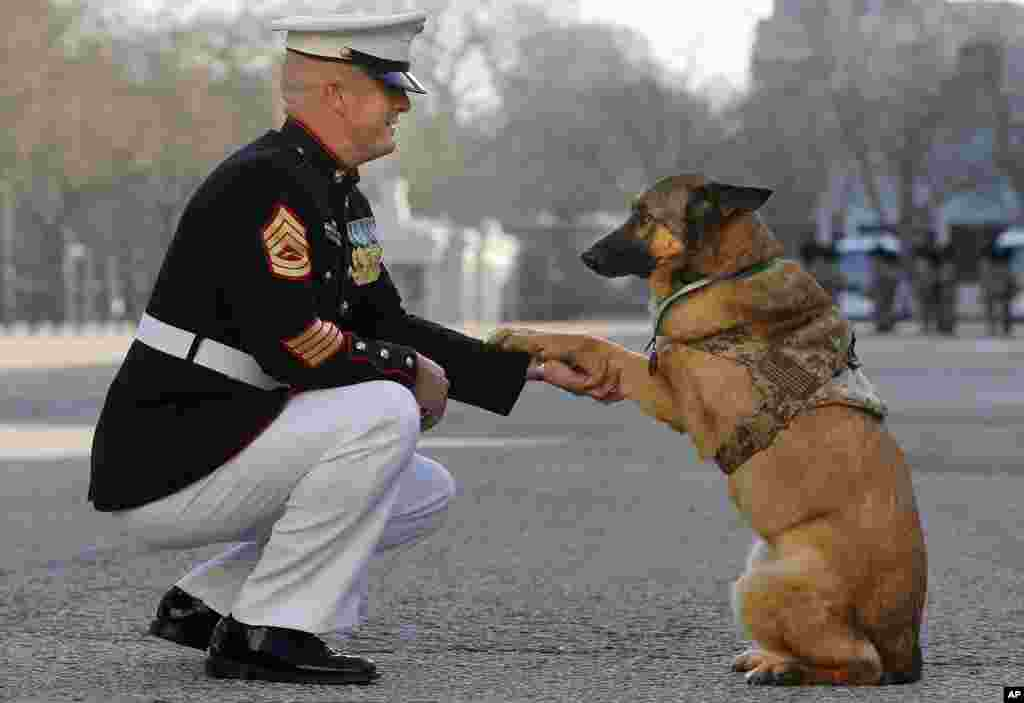 Gunnery sergeant Christopher Willingham, of Tuscaloosa, Alabama, USA, poses with retired U.S. Marine dog Lucca, after Lucca received the PDSA Dickin Medal, awarded for animal bravery, equivalent of the Victoria Cross, at Wellington Barracks in London. The 12-year-old German Shepherd lost her leg on 23 March 2012, in Helmand Province, Afghanistan, after she discovered a 30-pound improvised explosive device. As she searched for additional IEDs, a second device detonated, instantly blasting her front left leg. Lucca completed more than 400 separate missions in Iraq and Afghanistan during six years of active service protecting the lives of thousands of troops.