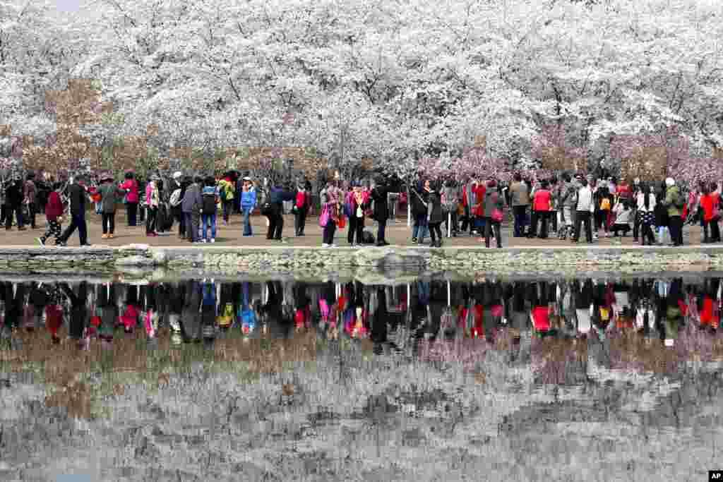 两千多棵樱花树装点北京玉渊潭公园樱花节。游人如织,傍樱花留影;湖水如镜,给游客留影。碧水清澈,人影花影共徘徊。 据悉, 1973年时任日本首相田中角荣向玉渊潭赠送了180株大山樱花树苗。后来这批长成的樱花树木成为中日两国友好往来的象征。