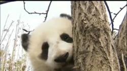 В Вашингтоне родился детеныш панды