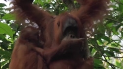 Orangutans Become Refugees From Deforestation, Poaching