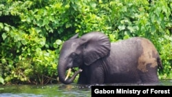 Courtesy Gabon Ministry of Forest