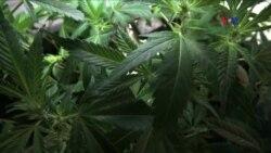 Vaşinqtonda marihuanadan istifadəyə içazə verilib