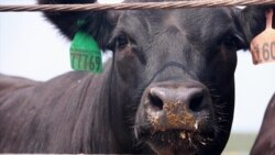 US Again Raising Beef for Chinese Consumers