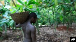 FILE - Farmer Issiaka Ouedraogo walks amongst cocoa trees on a farm outside the village of Fangolo, near Duekoue, Ivory Coast, May 31, 2011.
