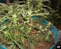家庭盆栽大麻