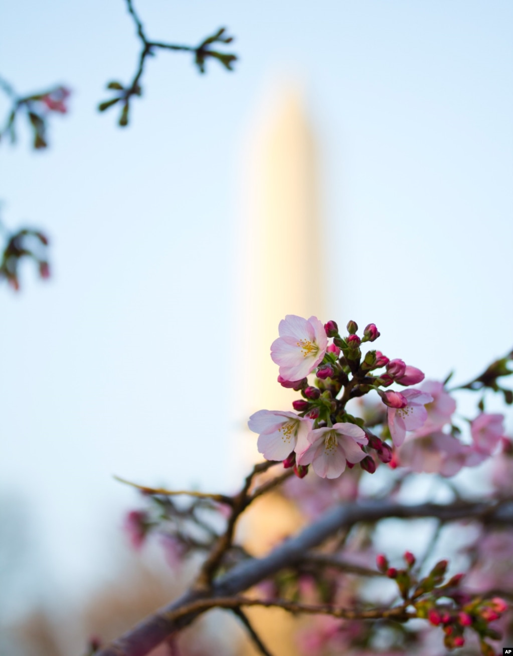 The Washington Monument backdrops the blooming Cherry Blossoms in Washington, March 18, 2012. (Photo: Andrew Bossi)