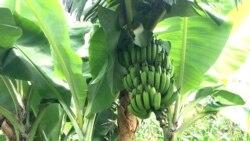 Praga devasta banana em Nampula